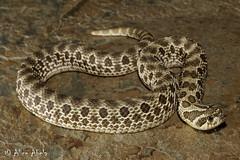 Western Hognosed Snake (Heterodon nasicus) (aliceinwl1) Tags: chordata colubridae heterodon heterodonnasicus hognosedsnake reptilia squamata westernhognosedsnake colubrid herp locnoone nasicus reptile snake viseveryone
