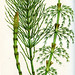 branched wood horsetail, blunt tpped horsetail