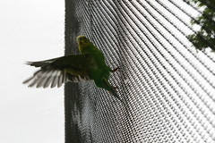 "Parakeet_ in motion • <a style=""font-size:0.8em;"" href=""http://www.flickr.com/photos/30765416@N06/4529244624/"" target=""_blank"">View on Flickr</a>"