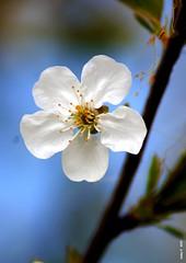 Suspension (cadayf) Tags: flower nature fleur cherry spring printemps cerise cerisier