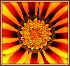Sunrays! (Mumsie Wood) Tags: orange brown white black flower macro yellow stripes teeth centre balls stamens gazania rays pollen excellence specks flowerettes
