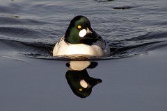 Seeing Double (ebirdman) Tags: male common goldeneye commongoldeneye bucephalaclangula bucephala clangula