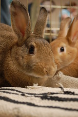 100418 099 (Carly & Art) Tags: pet cute bunny dc washington md furry day baltimore adoption hrs houserabbit justlooking houserabbitsociety