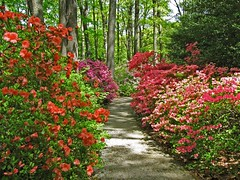 Jenkins April 24 (PHOTOPHANATIC1) Tags: azaleas jenkinsarboretum