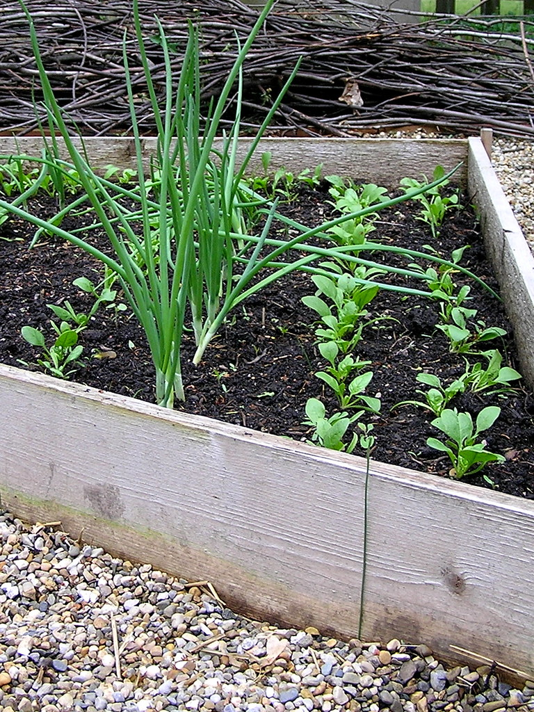 spinach and onion rows