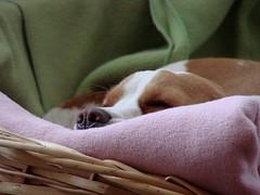 very busy ;) (Betolandia) Tags: pink copyright dog beagle nose cozy hound rosa mel perro sleepy ilegal dormir nariz beagles abrigo rosado sabueso betolandia susanagrimaldisheridan didyouknowthatitisillegaltostealpictures robarfotoses