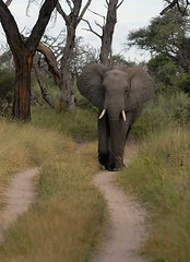 Elephant on road, Savuti, Botswana