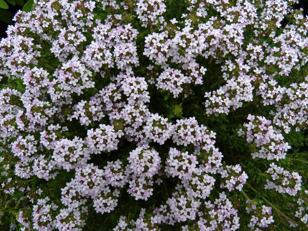 Thyme flowers (Thymus vulgaris)