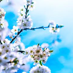 ~ Blue Monday Blossom ~ MK-II =) (©Komatoes) Tags: flowers blue white tree 50mm spring blossom bokeh f14 g branches niko afs d40