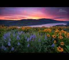 Rowena (Jesse Estes) Tags: sunrise wildflowers lupine rowena balsamroot rowenacrest 5d2 jesseestesphotography