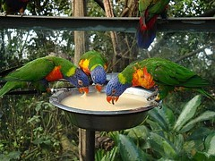 Drinking bout (Jaedde & Sis) Tags: birds three drink drinking colourful signe trichoglossushaematodus 15challengeswinner storybookwinner pregamewinner