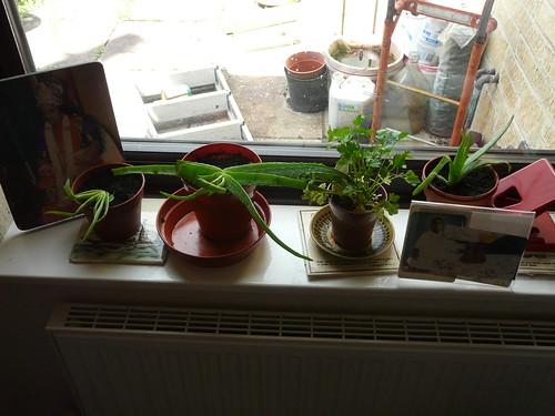 Aloe vera plants back at home