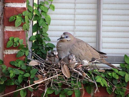 Dove Family