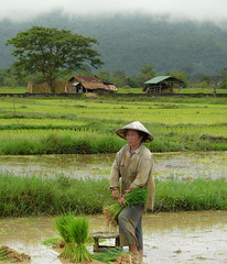 Rice farming woman in Laos (Bn) Tags: poverty topf50 harvest farmer laos topf100 hardwork ricefields weeding paddyfields harvesting greenfields champasak limestonerocks 100faves 50faves dayworkers ricefarming bamboohat abigfave womanfarmer academiahispanoparlantedeautodidactas laopeople wetricefields laoscountryside chinesebamboohat hardworkingfarmer greenpaddyfields womeninlaos transplantingofrice workingindepaddyfields womeninthepaddyfields laowomenatwork ricefarmingwomaninlaos