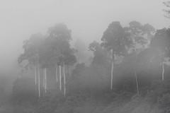 1119 Morning mist --Endau Rompin , Johor , Malaysia. (ngchongkin) Tags: trees mist forest jungle malaysia johor polestar endaurompin doublestaraward crossaward