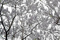 8 - 3 mai 2010 Paris Square Maurice Kriegel-Valrimont  Glycines (melina1965) Tags: trees paris tree gardens garden spring nikon ledefrance visualarts may jardin mai arbres 75018 arbre printemps jardins wisteria 2010 smrgsbord godislove glycine glycines d80 wisterias 18mearrondissement deusamor photoscape thisphotorocks umbralaward norulesphoto nopoolsweeperneeded theclassact