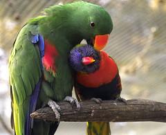 grooming (dalinean) Tags: park macro bird pentax wildlife sigma australia grooming rosella sd10 bunbury 50mmf4