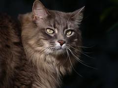 Marley's Morning Climb (joecrowaz) Tags: city arizona portrait cats pets color phoenix animals olympus 300mm zuiko e510 rawdevelopment bestofcats olympusmaster2