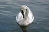 14.05.2010 D7 Dinton Pastures 011 (PeaTJay) Tags: flowers plants nature birds gardens lakes reserve swans carlsbirdclub
