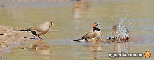 Long-tailed finches (Poephila acuticauda) and masked finch (Poephila personata)