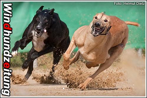 Greyhound - Windhundtraining Münster - 24.4.2010