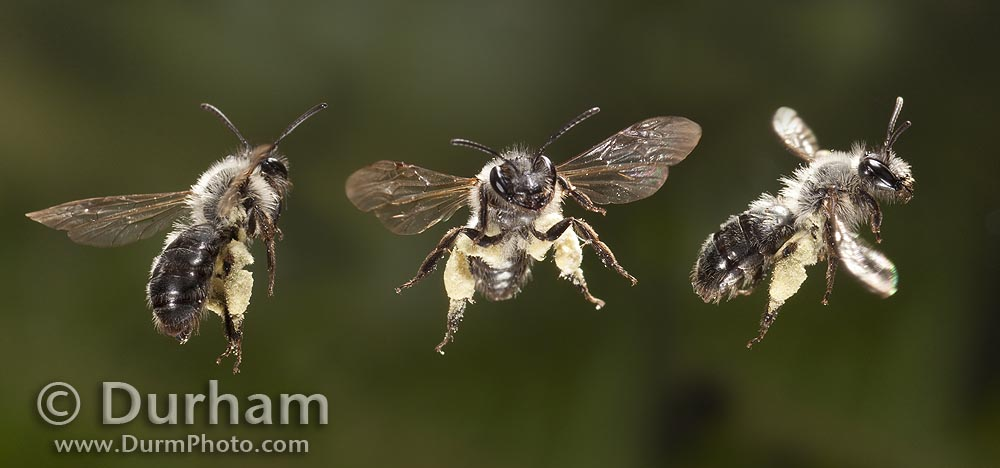 Mining Bee (Andrena sp.)