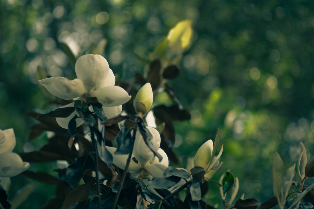 """when the soft fragrance of magnolias hung in the air, my heart would swell without warning..."""