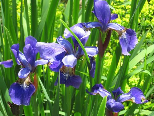 "Iris siberica ""Steve"""