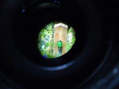 Resplendent Quetzals (Female) (isprky) Tags: female resplendent quetzals