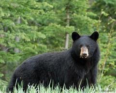 Rocky Mountain Poser (J Bespoy Photography) Tags: bear wild canada black bc britishcolumbia rockymountains naturesfinest specanimal animalkingdomelite mywinners platinumphoto anawesomeshot hennysanimals