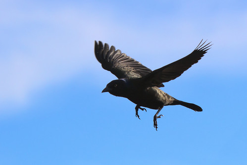 Grackle in Flight