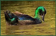 Black East Indies duck. (anthonynixon17) Tags: coventry warwickshire coombeabbey blackeastindiesduck