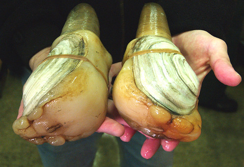 Geoducks, a Washington State delicacy, with a face only a mollusk could love.