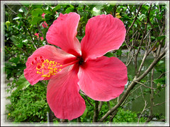 Hibiscus rosa-sinensis 'Cooperi', seen at Sungai Klah Hot Springs, Sungkai in Perak