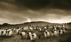 The Kentmere fells (bobbrooky) Tags: blackandwhite film monochrome animals sheep flock lakedistrict infrared analogue tones toning kentmere
