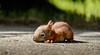 City Squirrel [Explored] (Aspiriini) Tags: canon squirrel explore orava animalplanet sciurusvulgaris explored kurre jonilehto aspiriini