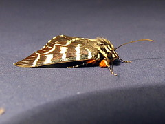 Noctuidae>Comocrus behrii Mistletoe Moth 0087 (Bill & Mark Bell) Tags: insect australia lepidoptera noctuidae westernaustralia animalia arthropoda exmouth insecta behrii taxonomy:class=insecta taxonomy:order=lepidoptera taxonomy:kingdom=animalia taxonomy:phylum=arthropoda taxonomy:family=noctuidae geo:country=australia mistletoemoth comocrus geo:state=westernaustralia geo:town=exmouth geo:lon=11425453egeolat2217752sgeoalt8m taxonomy:genus=comocrus taxonomycommonnamemistletoemoth taxonomybinomialnamecomocrusbehrii comocrusbehrii 11425453e2217752salt8m