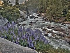 Morning Glory (DuoMax) Tags: california flowers mountains canon river nationalpark merced sierra rapids yosemite wildflowers sierranevada mercedriver g11 canong11