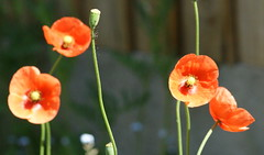 DSC02838-1 (Pitzy's Pyx, keep snapping away!.) Tags: poppies mygarden flamingjune