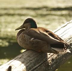High Park Mallard (Dan Cronin^) Tags: toronto dan photography highpark photographer ducks mallards cronin grenadierpond dancronin croninjpg dancroninjpg wwwacityreflectedcom
