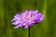 Canon EOS 7D_IMG_0807 (Andreas*D) Tags: plant macro green canon lens eos purple blossom bokeh magenta lavender lilac 7d mauve pollen 2010 ef100mmf28macrousm