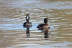 Tufted Duck (Andy_Hartley) Tags: uk england bird nature birds animals photo europe wildlife warwickshire wildfowl brandonmarsh canon450d sigma150500