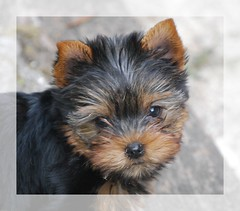 Fiby'serie (mimite1958) Tags: york dog chien pet baby black france cute puppy funny noir puppet yorkshire adorable cutie terrier normandie doggy lovely yorkshireterrier normandy cabot babydog yorkhire bluetan fiby