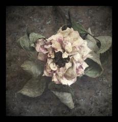 Dry rose (Y.H.P) Tags: flowers flower rose  teagans flickraward imageourtime