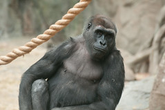 Gorilla & Rope