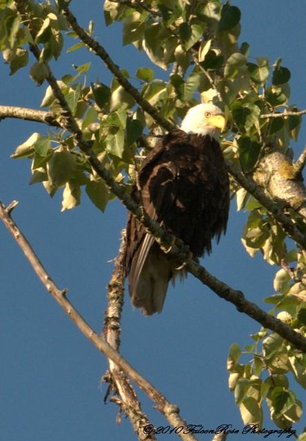 06-12-2010_bald-eagle