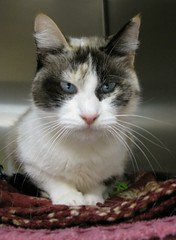 KAY with her Pretty Blue Eyes (Pixel Packing Mama) Tags: heartlandhumanesociety pixelpackingmama blueeyedanimalspool dorothydelinaporter montanathecat~fanclub spcacatspool ceruleanthecat~fanclub catpixpool pixuploadedfirsthalfof2010set pixtakeninfirsthalfof2010set picturestakenwithcanonpowershota2000isin2010set catskittensstartingjanuary12010set oversixmillionaggregateviews over430000photostreamviews