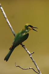 The blue tailed Bee Eater (Aniruddha Sur) Tags: india birds mangrove reptiles villagers sunderban tigerreserve projecttiger