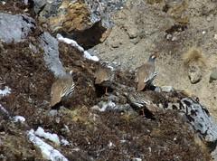 Dscf2612 (thesilvertops) Tags: nepal trek annapurnacircuit annapurna annapurnabasecamp annapurnahimal thesilvertops