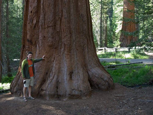 Sequoias in the Mariposa grove